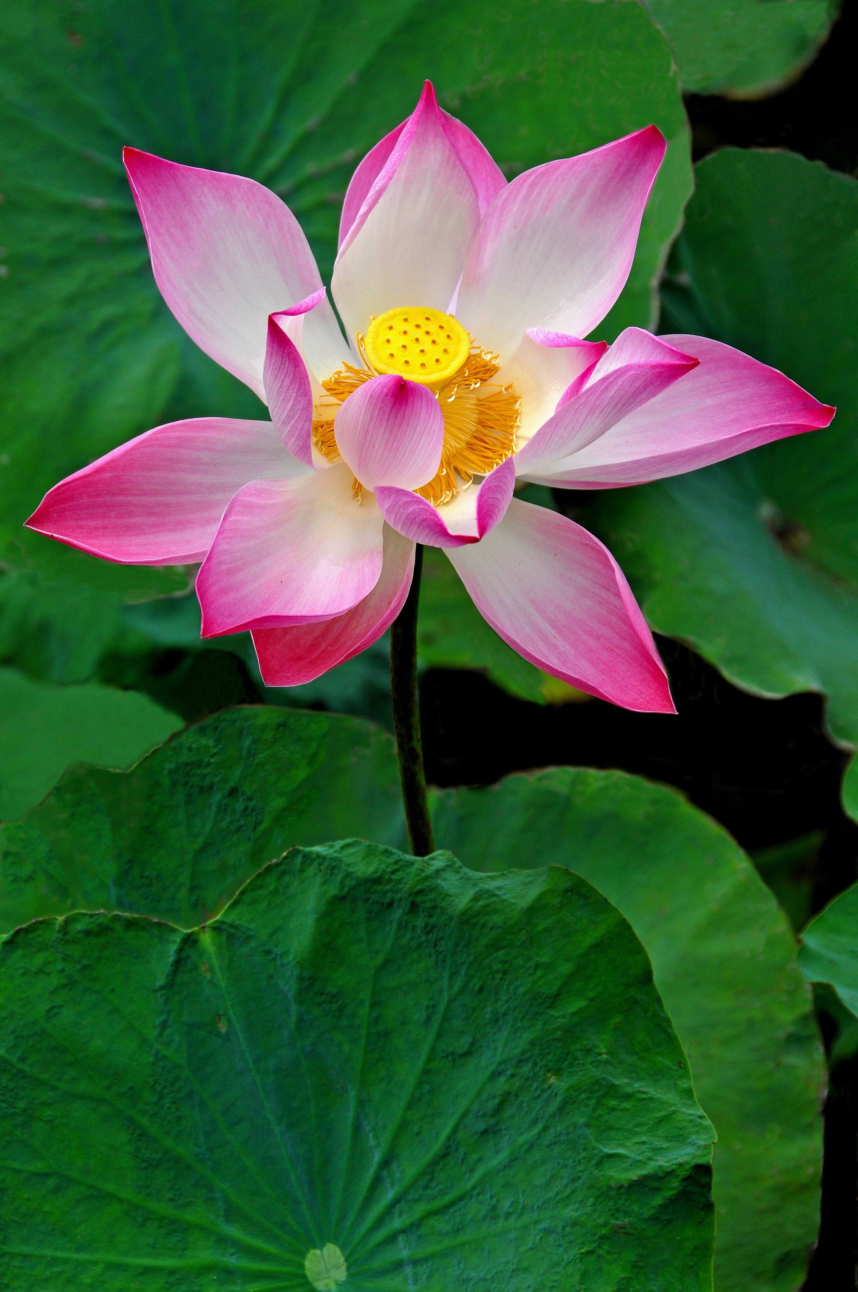 File:Lotus flower from the Mekong Delta, Vietnam.jpg - Wikimedia ...
