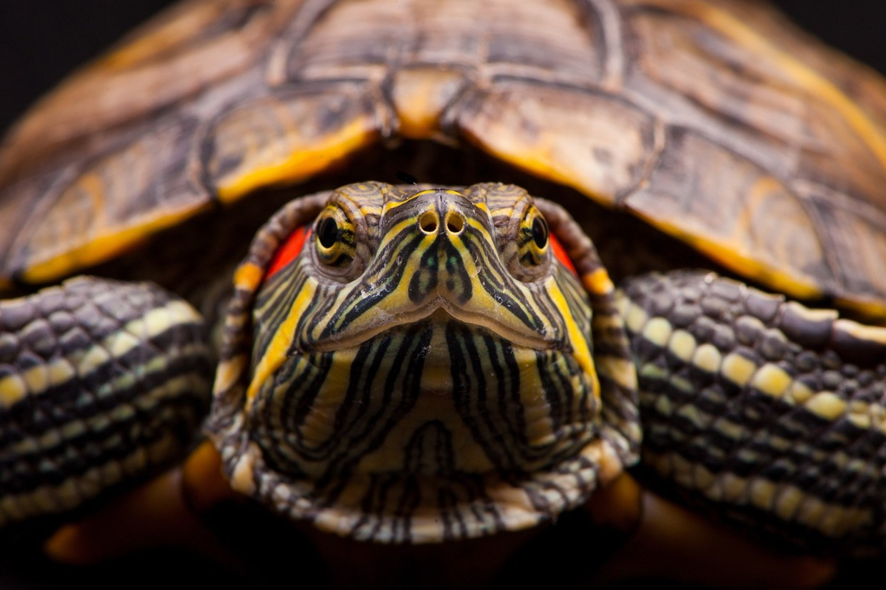 Korean researchers remotely control turtles using non-invasive ...