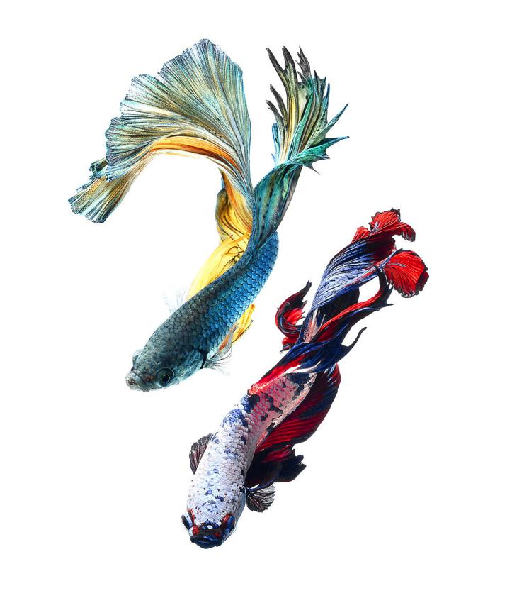 Betta Fish Clip Art - Cliparts.co
