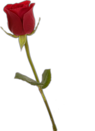 Rose Png Cliparts Co