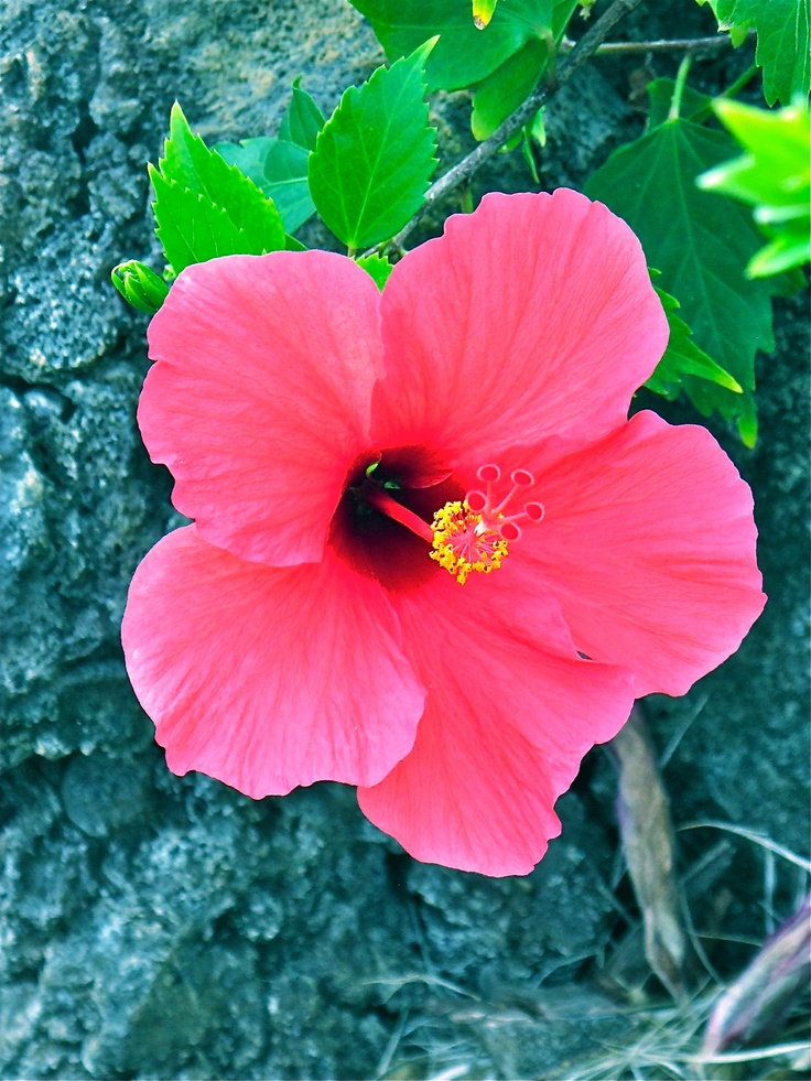 hawaiian flowers black and white  magiel, Beautiful flower
