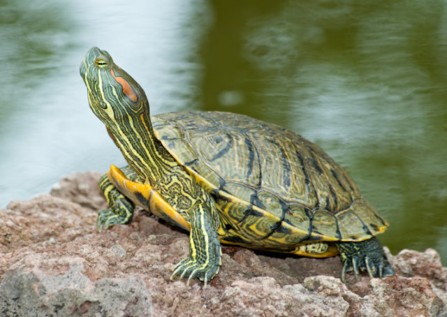 We need a healthy dose of what God gave turtles: the gifts of grit ...