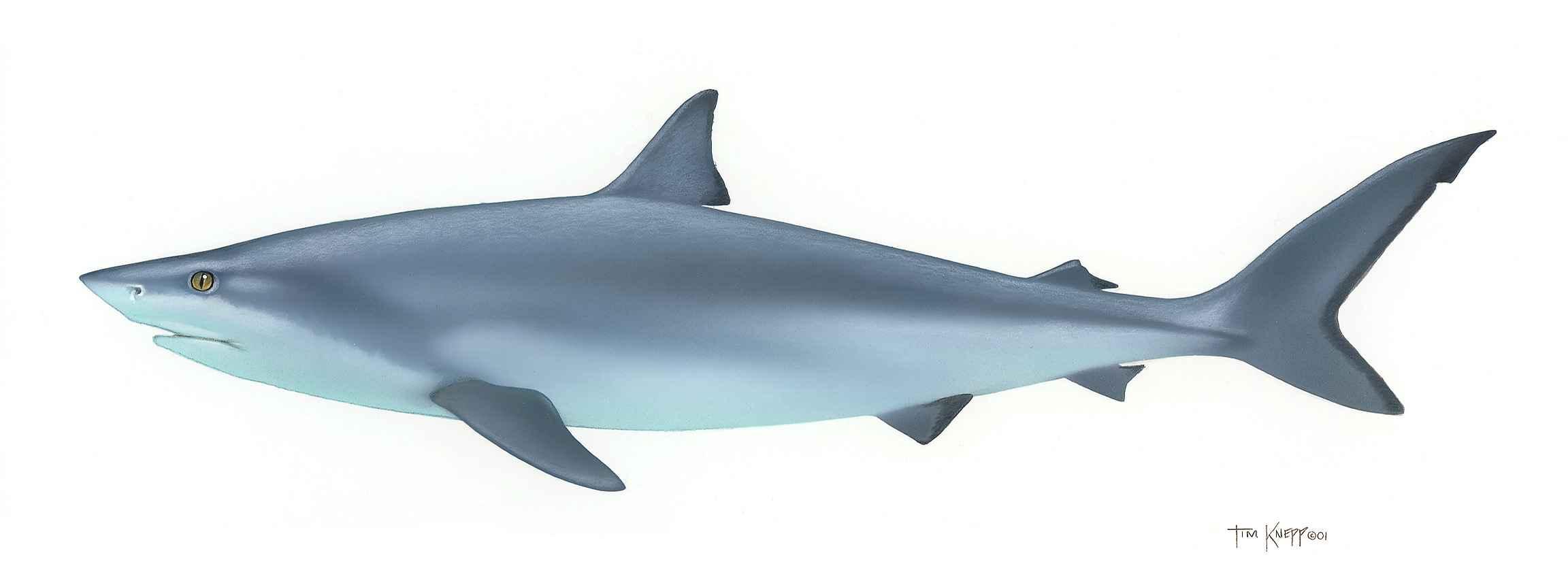 shark cliparts co