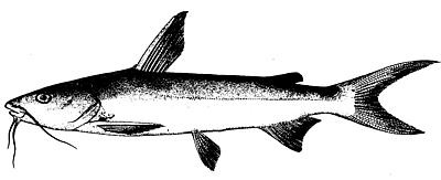 Sea-catfish.jpg - ClipArt Best - ClipArt Best