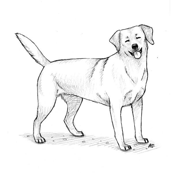 Labrador Retriever Dog Drawing The Big Idea Te Aria Nui
