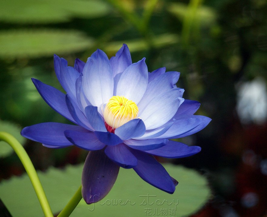 Aliexpress.com : Buy 20 Blue Moon Lotus Flower Seeds ,Amazing ...