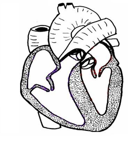 free clipart human heart - photo #35