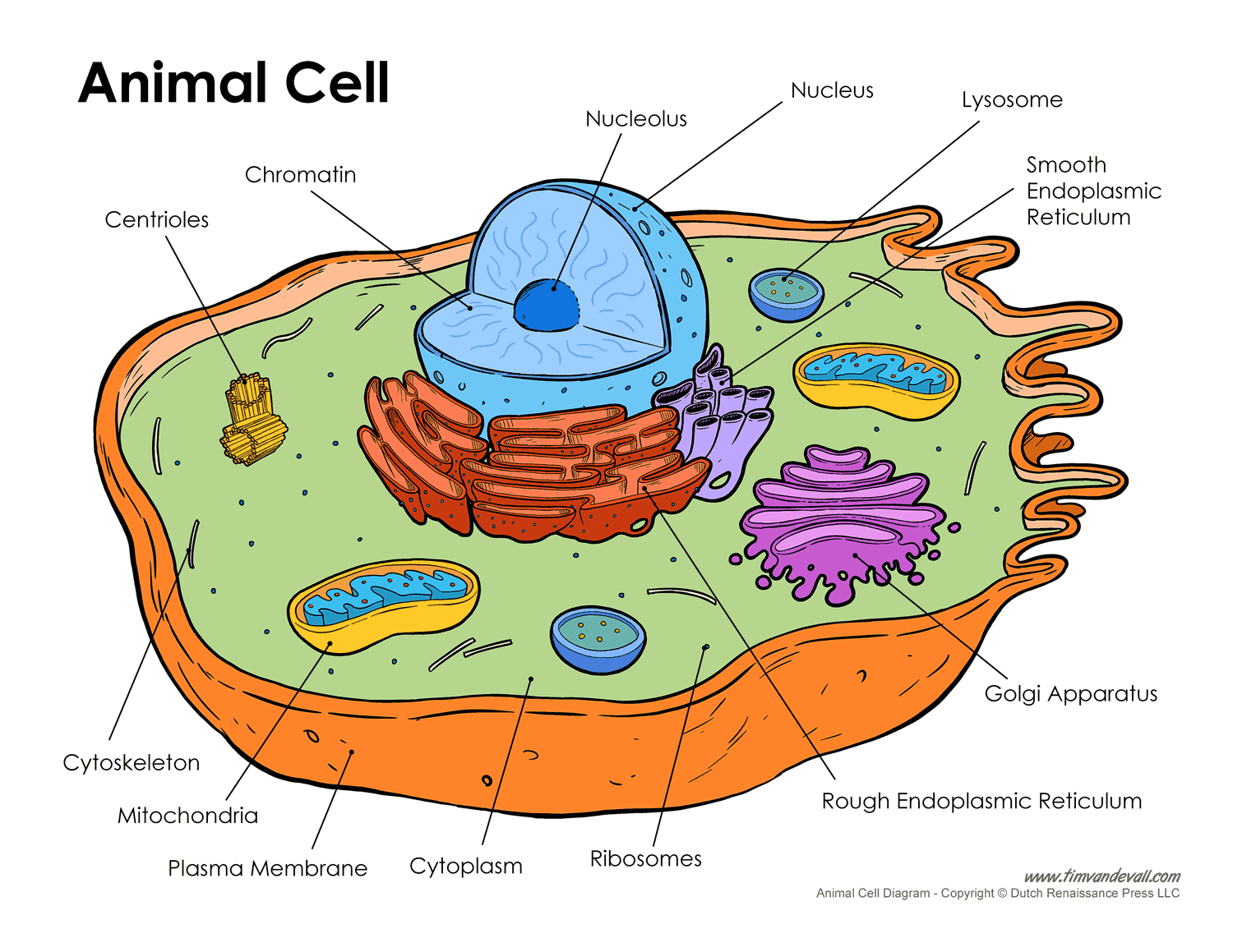 Animal cell diagram blank