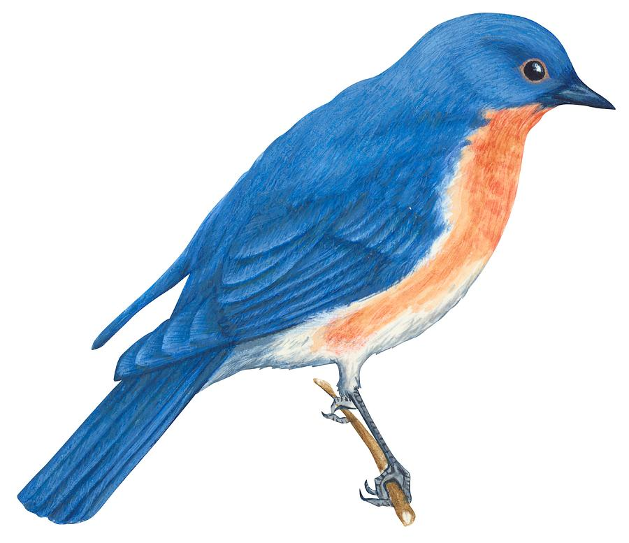 Bluebird Clip Art - Cliparts.co