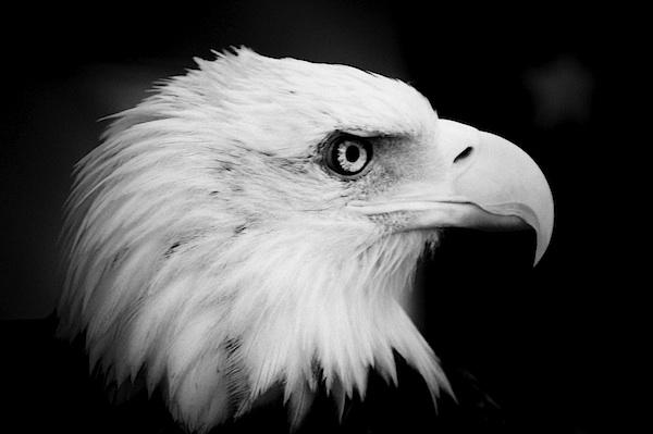Black And White Eagle Cliparts Co