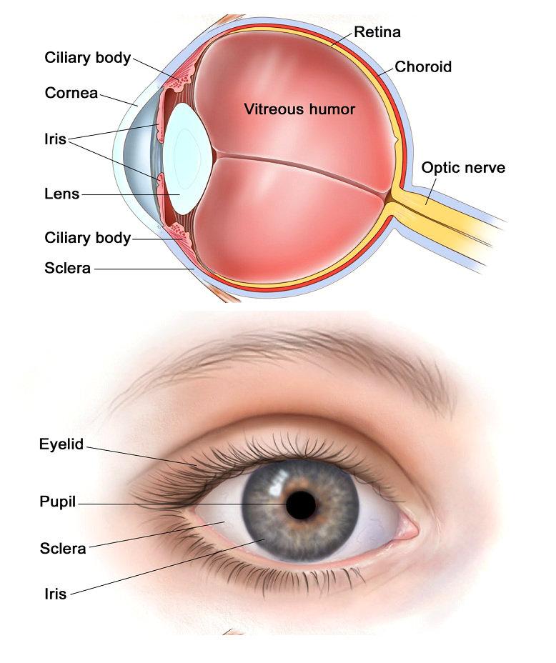 Eye diagram cliparts human eye eye diagram charts diagrams graphs ccuart Gallery
