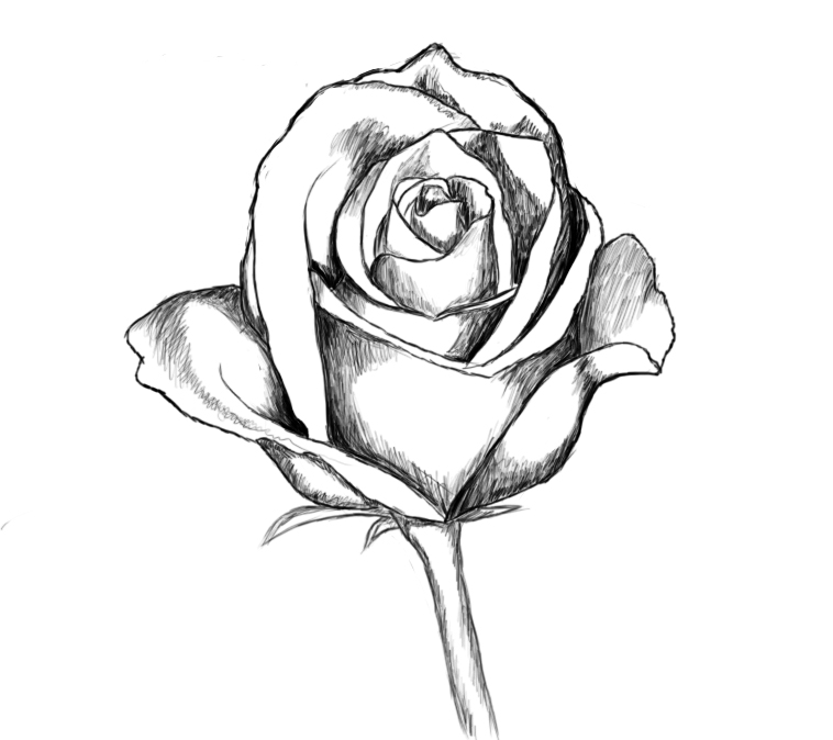 Rose Line Drawing Easy : Line drawing rose cliparts