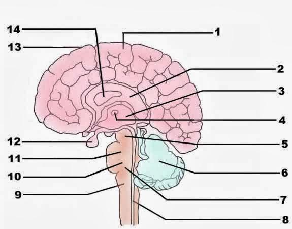 Brain Diagram Blank ~ DIAGRAM