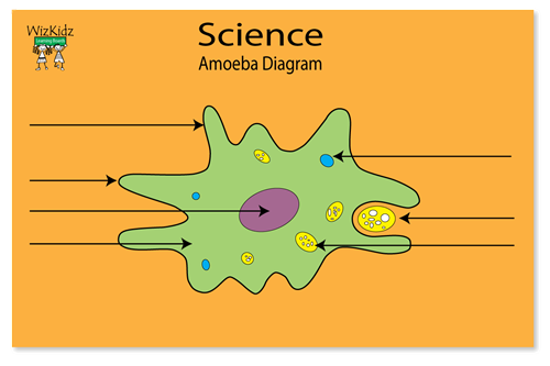 Protoctista as well Solution Of 1st Sessional Of likewise 13957116 also Protists likewise Biology i and honors biology semester 2 final exam study guide flashcards. on amoeba diagram colored
