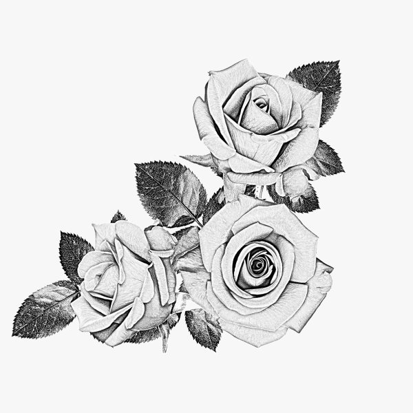 Black and white roses drawings