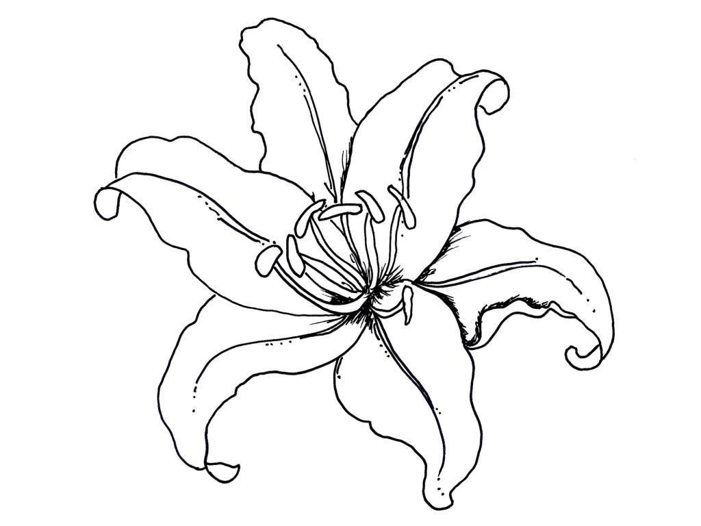 Раскраска цветок лилии