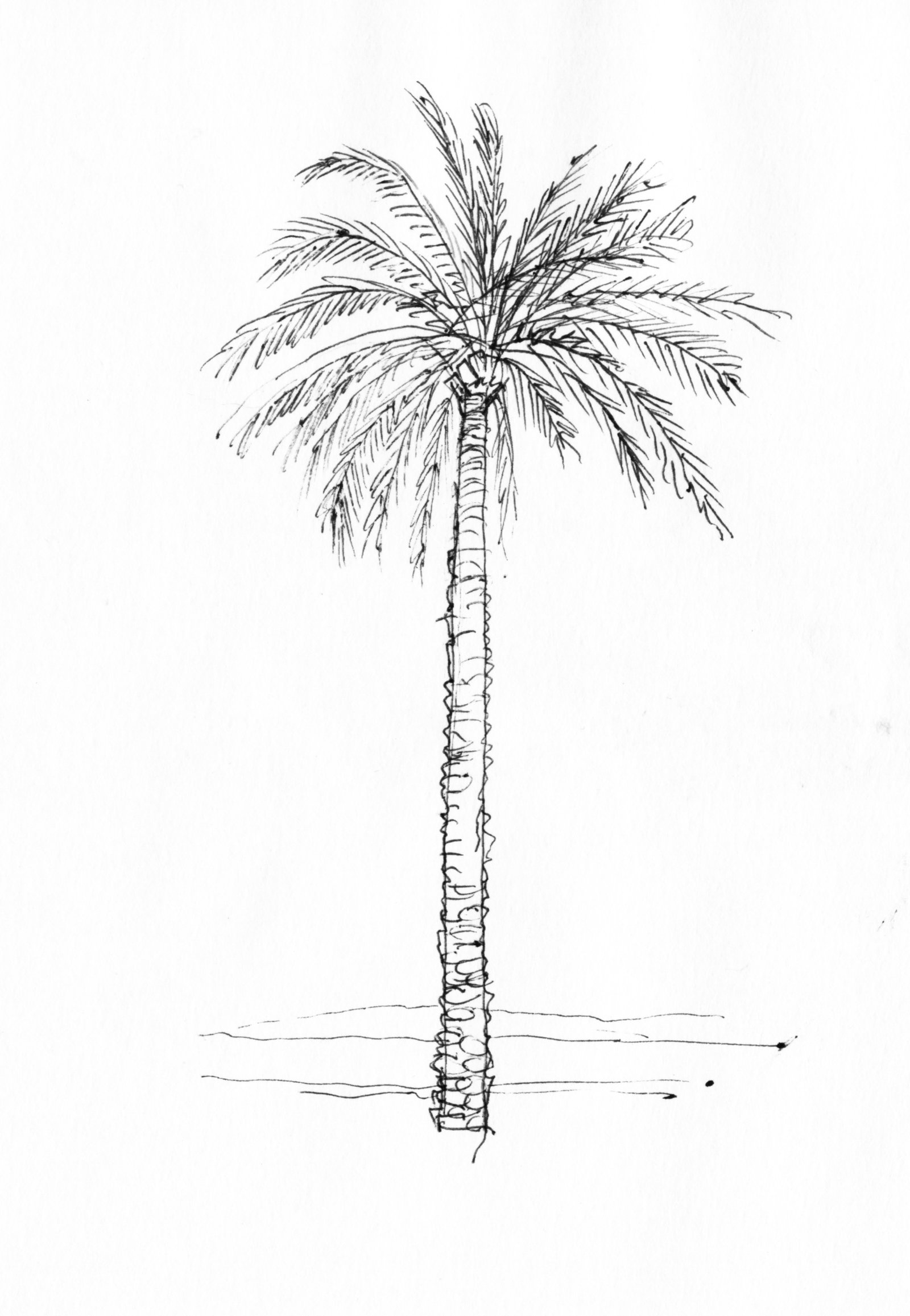 Line Drawing Palm Tree : Line drawings palm trees drawing cliparts