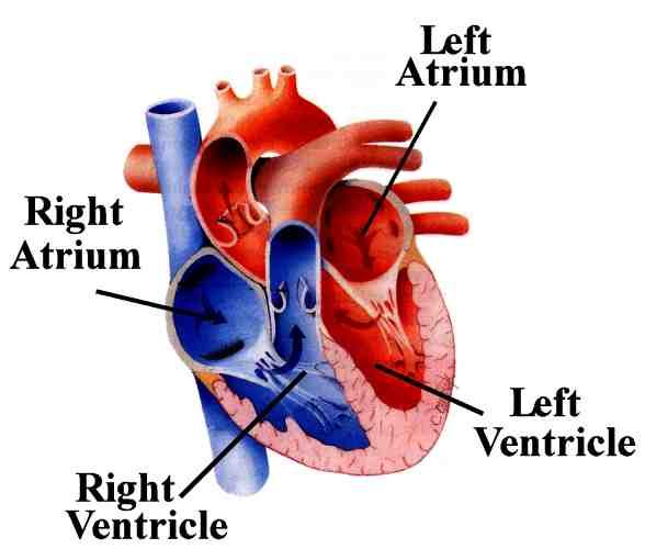Heart Diagram No Labels | Maria Lombardic - Cliparts.co
