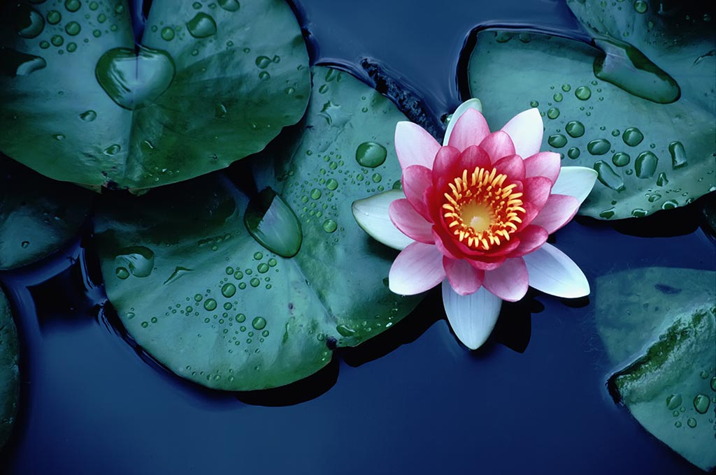 How does the Lotus Flower Clean itself? | Pitara Kids Network