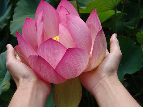 LOTUS FLOWER INFO - #MOMS Motivating Other Mothers