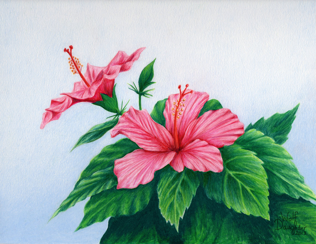 Hibiscus Drawing - Cliparts.co