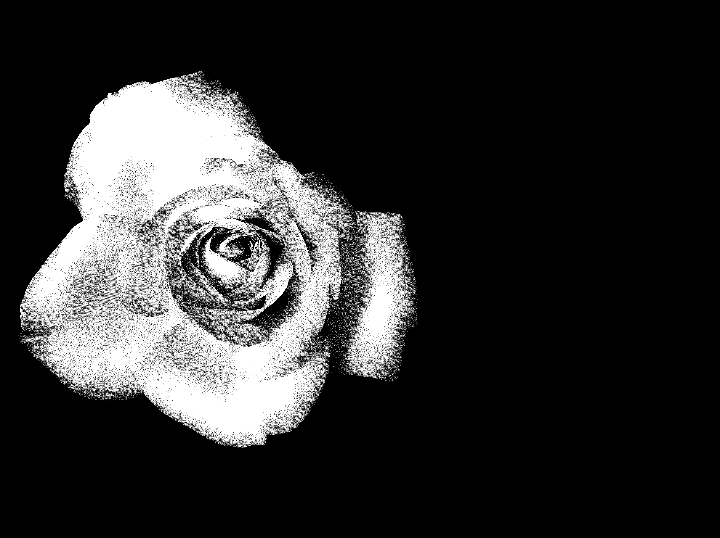 Black And White Rose - Cliparts.co