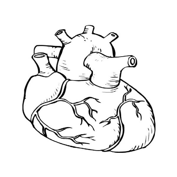Pin by Shelley Cooper on Good to Know | Heart diagram, Anatomy ... | 600x600