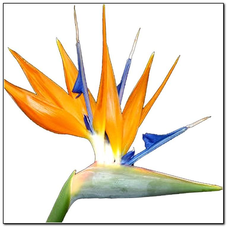 bird of paradise clip art clipartsco