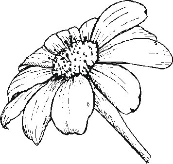 Gerbera Daisy Line Drawing gerber daisy flowers Colouring