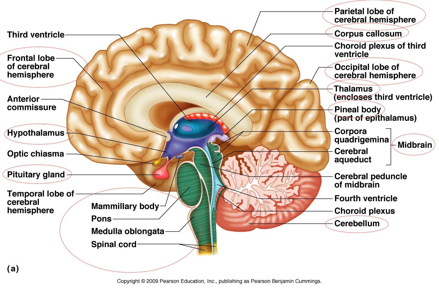 Brain Diagram - Cliparts.co
