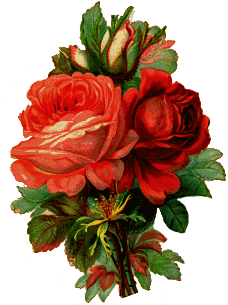 Old Fashioned Red Roses