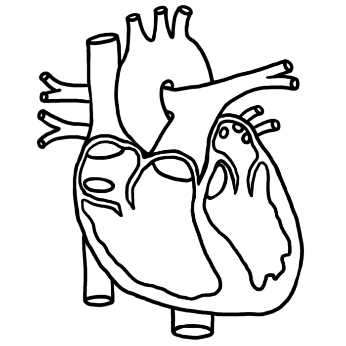 Human Heart Coloring Pictures For Kids Health Pictures of Anatomy ...