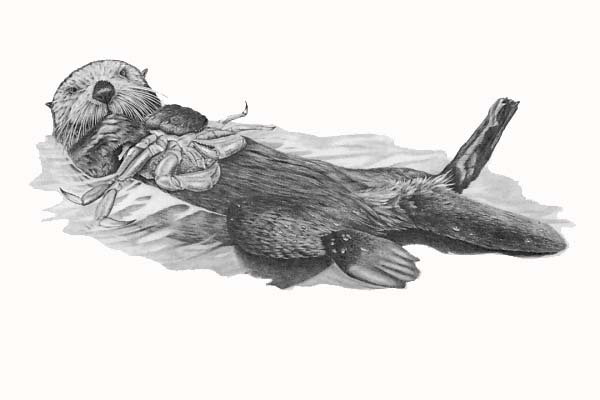 Black And White Sea Otter Pictures - Cliparts.co