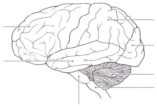 Blank Diagram Of The Brain Lobes Diy Wiring Diagrams