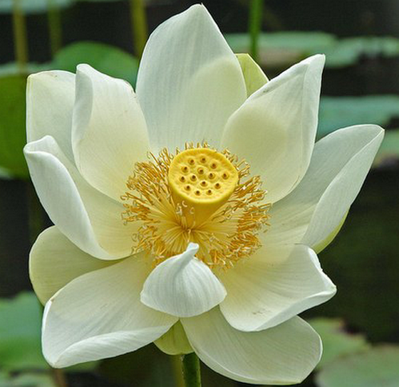 Lotus-Flower-Meaning.png