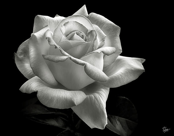Black And White Roses - Cliparts.co: cliparts.co/black-and-white-roses