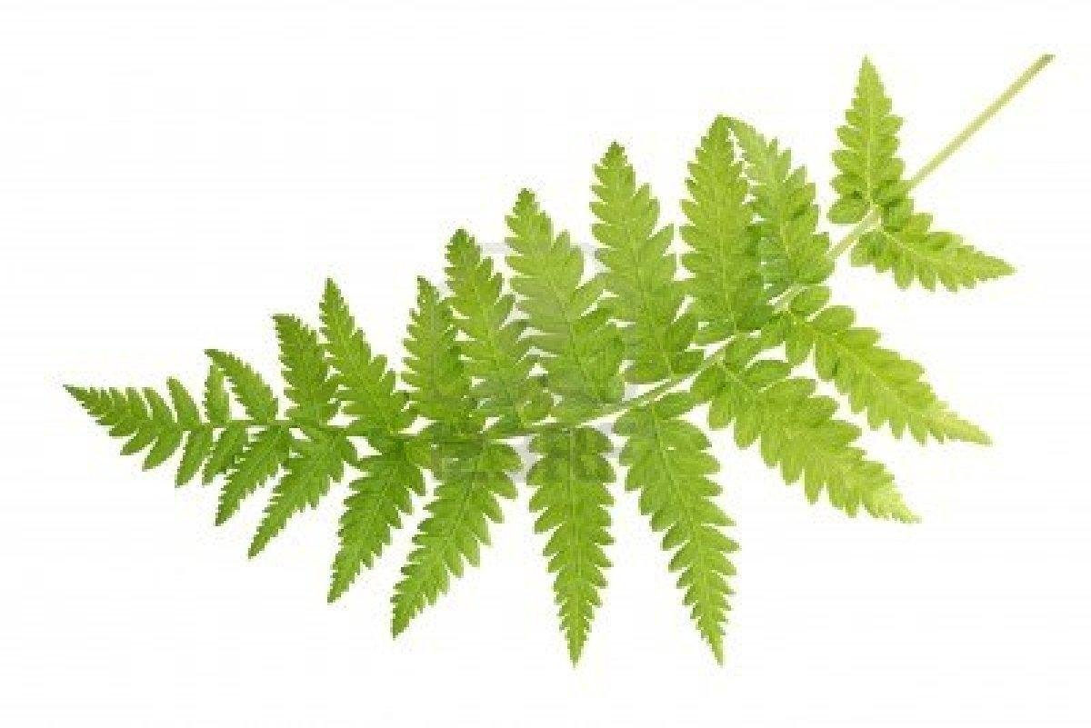 Fern Leaf - Cliparts.co