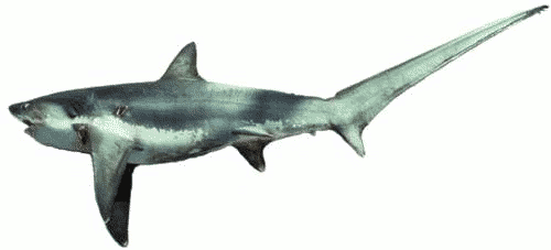 Free Sharks Clipart. Free Clipart Images, Graphics, Animated Gifs ...