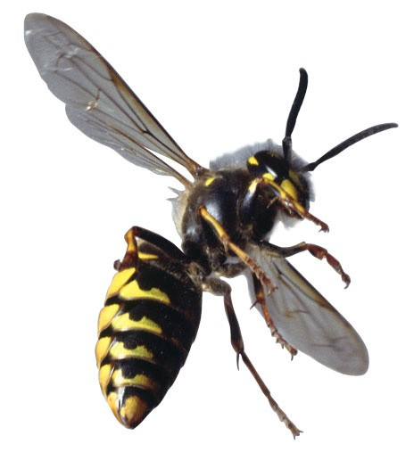 free clip art yellow jacket - photo #24