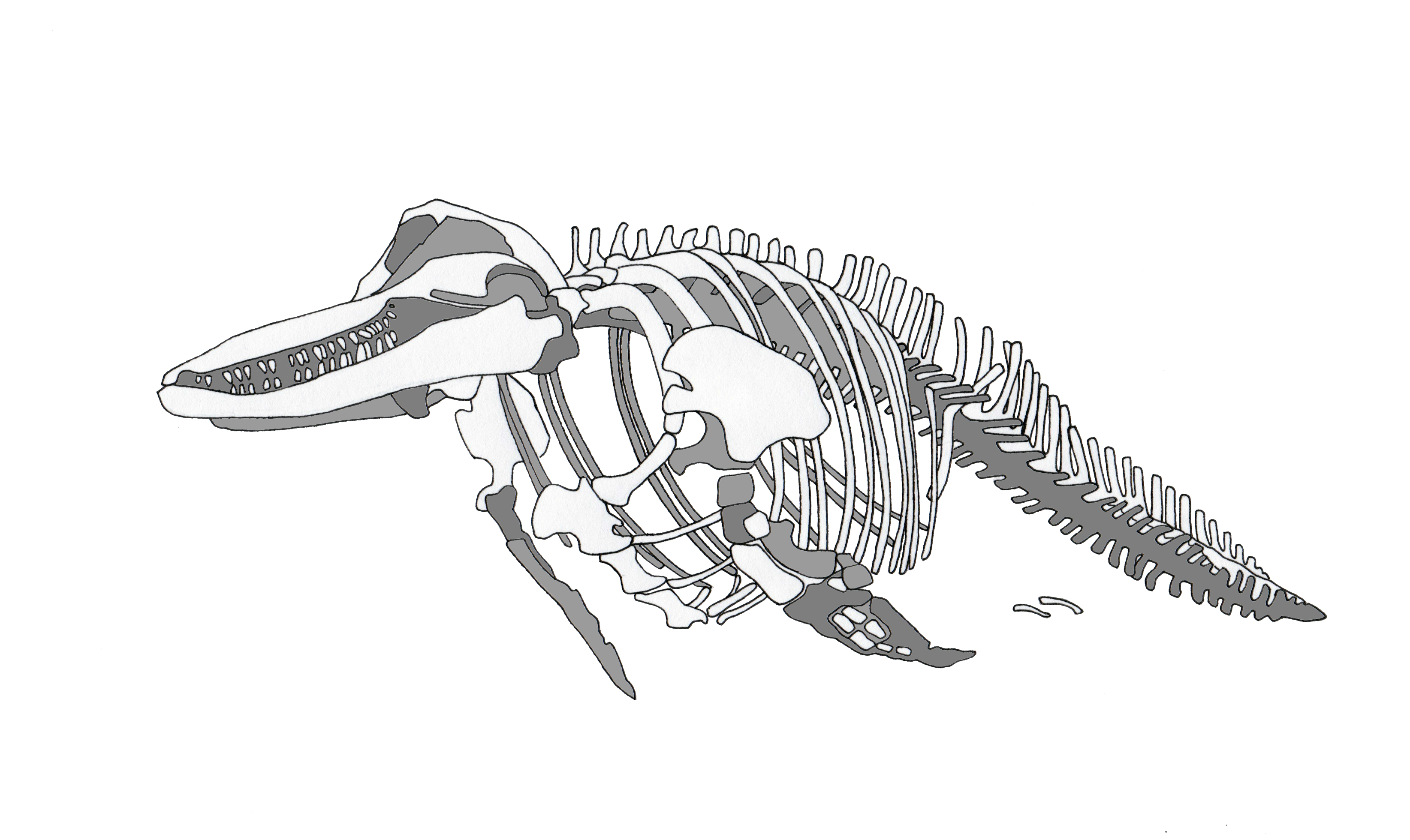 Line Drawing Dolphin : Line drawing of dolphin cliparts