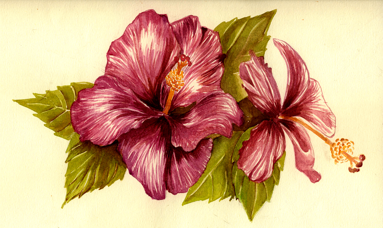 Hibiscus Flower Drawing Clipartsco