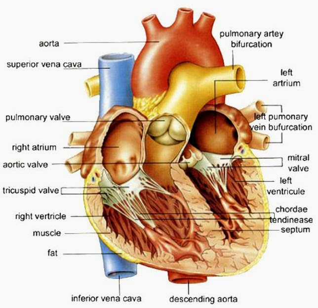 Diagram Of The Human Heart onehotbitch – Heart Labeling Worksheet
